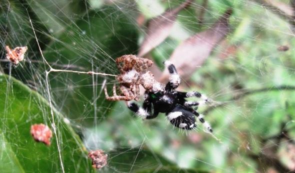 Momento en que la araña Phidippus regius devora a la especie invasora