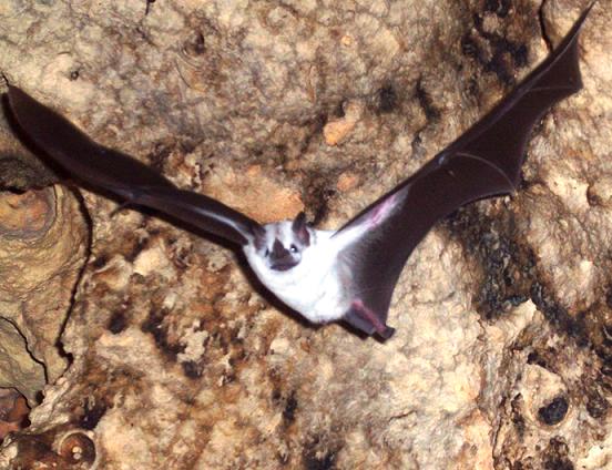 Especie de murciélagos de color blanco