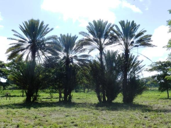 Zona Acunana que preservará las 47 plantas estudiadas y descubiertas por botánico y científico cubano Julián Acuña Galé (1900-1973) y otras 20 que le dedicaron. Parque Botánico Julián Acuña Galé