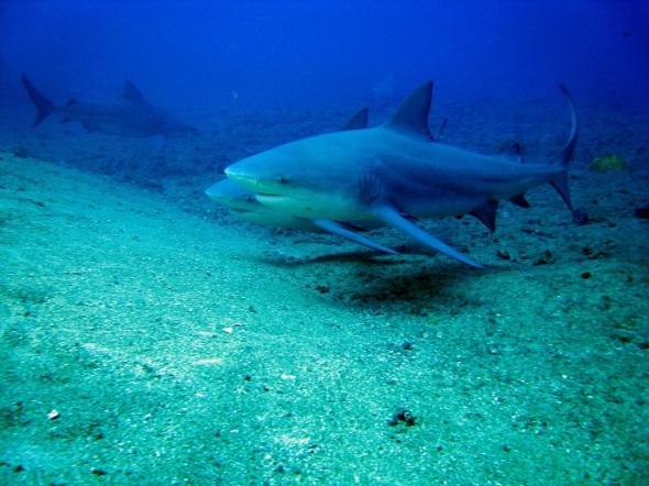 Especialistas opinan que al tiburón Toro lo asocian a menudo con ser un animal mortal, debido a su tamaño relativamente grande, pero es de temperamento dócil.