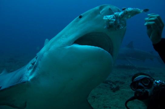 Show Especial con Tiburones