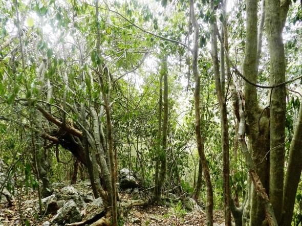La variedad de árboles maderables en su entorno que crecen sobre rocas
