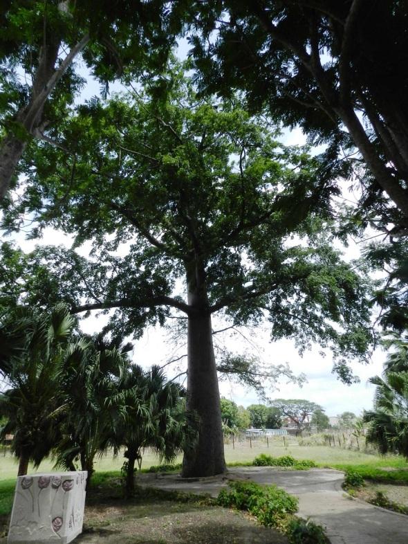 Ceiba plantada por la familia de Alma Flor el 10 de abril de 1920