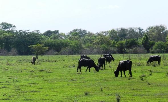 Bufalos en El Delirio