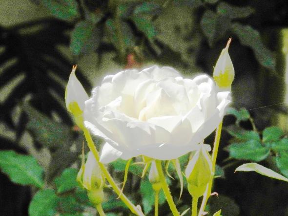 Hermosa Rosa Blanca en Topes de Collantes